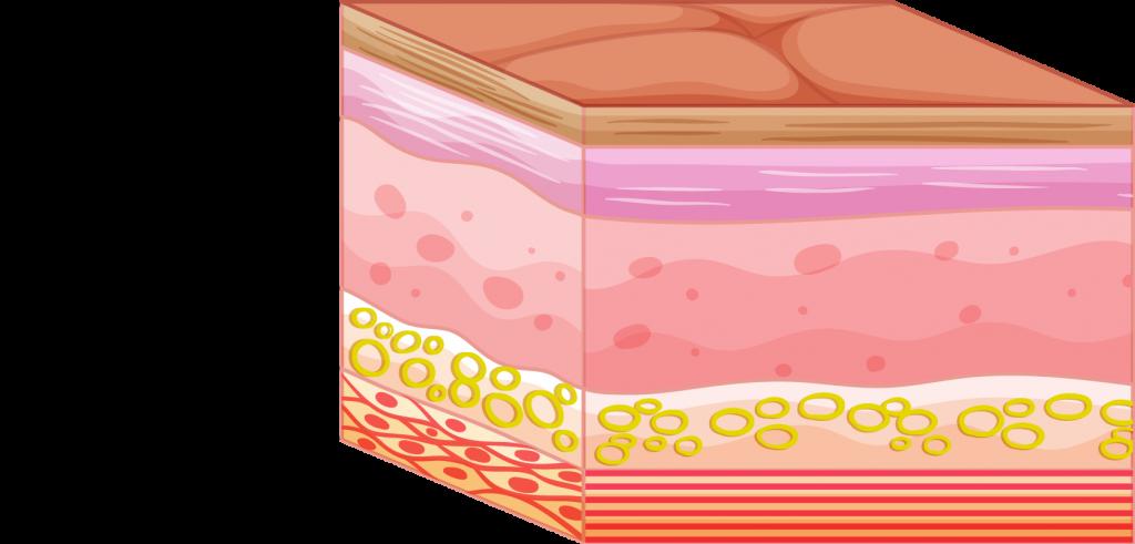 graisse sous-cutanée et tissus