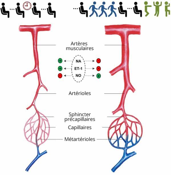 Impact de la position assise prolongée sur la circulation sanguine
